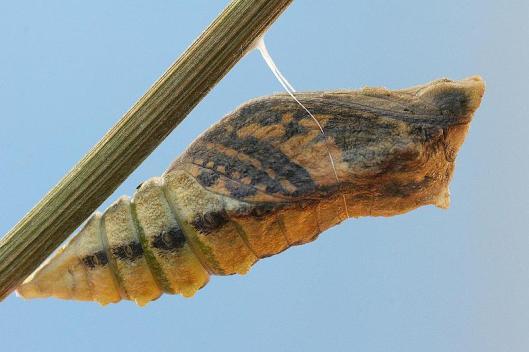 041-crisalide-farfalla-1-TL