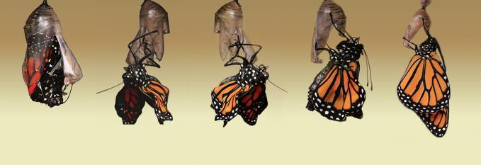 metamorfosi farfalla