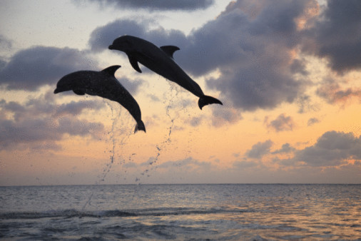Bottlenose Dolphins (Tursiops truncatus) Caribbean Sea, Roatan, Bay Islands, Honduras