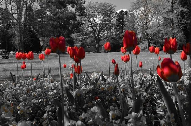 tulipani-natura--amore--fiore--tulipano--estate--primavera_121-69760